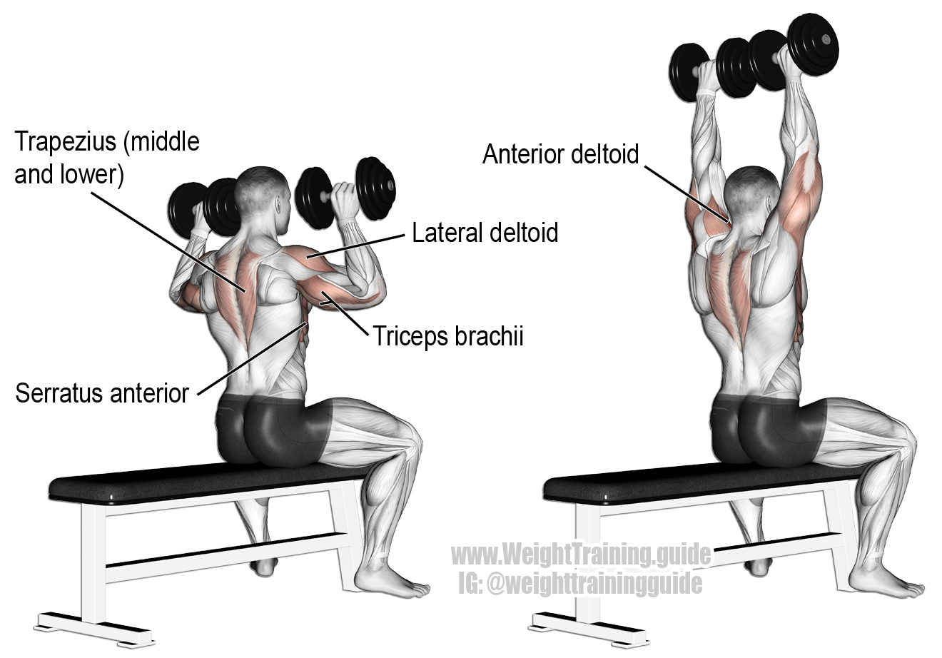 Seated Dumbbell Push Press on Bench - Tập vai giữa