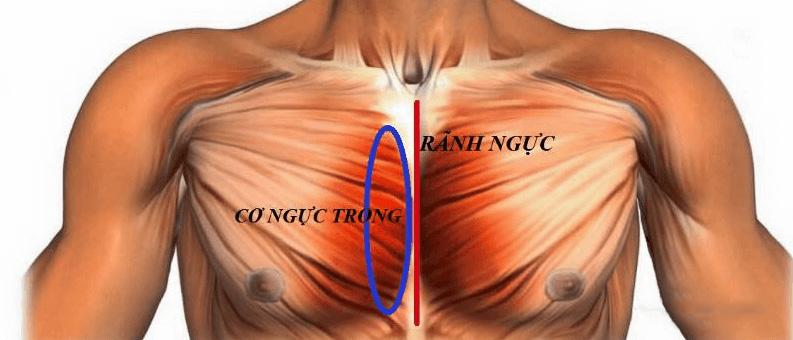 cơ ngực trong , rãnh ngực là gì